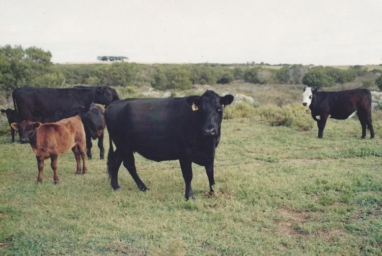 Old Buffelsfontein Cows